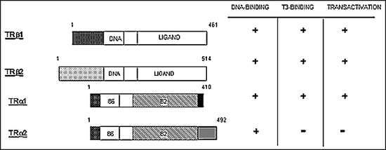 Figure 2. TH receptor isoforms. The TH receptors (TR) β and α are expressed from separate genes. Each TR gene can be expressed as distinct isoforms, reflecting the use of alternate promoters and exons. The central zinc finger DNA-binding region is indicated and unique domains are shown by distinct patterns of shading. The TRβ-2 isoform, which is expressed predominantly in the pituitary and hypothalamus, contains a unique amino-terminus. The TRα-2 isoform contains unique carboxy-terminal sequences that eliminate hormone binding. The DNA- and T3-binding properties and transcriptional activity of the various isoforms are shown at the right.