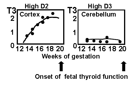 Figure 10: Concentrations of T3 in the fetal cerebral cortex and in the cerebellum. The cortex has high D2 activity, whereas the cerebellum has low D2 and high D3 activity. Accordingly, the coencentrations of T3 rise in the cerebral cortex and rfemain low in the cerebellum, reflecting different timing of T3 action. (From Kester et al, J Clin Endocrinol Metab. 89:3117-28, 2004).