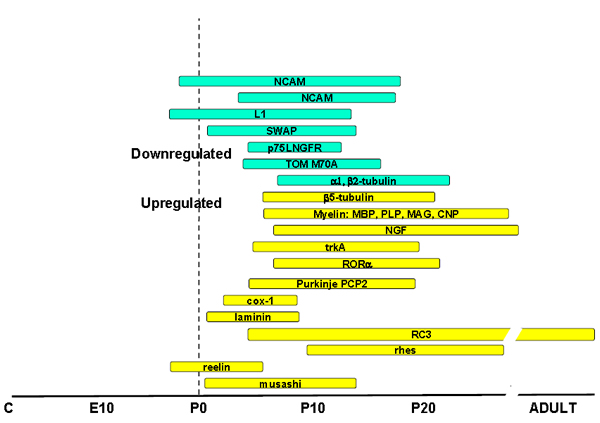 Fig 11: Regulation of brain gene expression by thyroid hormone during the postnatal period in the rat. The windows of sensitivity of regulated genes extend from the late fetal period to the end of the first month, with some exceptions (RC3) extending to the adult. Only some selected examples are shown. The windows of sensitivity of the myelin genes are different for each brain region, so that in the more caudal regions (for example brain stem and cerebellum) the window is earlier than in the frontal regions (cortex).