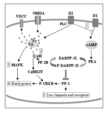 Fig 12: Regulation of gene expression by thyroid hormones in the adult striatum. Signaling pathways are schematically represented and the main groups of regulated genes shown in numerals. 1: G-protein coupled receptor signaling (Cnr1, Rgs9, Rasd2, Rasgrp1). 2: Ca2+/calmodulin pathway (Nrgn); MAPK pathways (Map2k3, Fos). 4: Early genes (Nr4a1, Arc, Dusp1, Egr1, Homer). 5: Ion channels (Scn4b). Abbreviations: VDCC, voltage dependent sodium channels, NMDA, N-methyl-D-aspartate, D1 and D2, dopamine receptors 1 and 2.  From Diez et al, Endocrinology 149: 3989-4000, 2008.