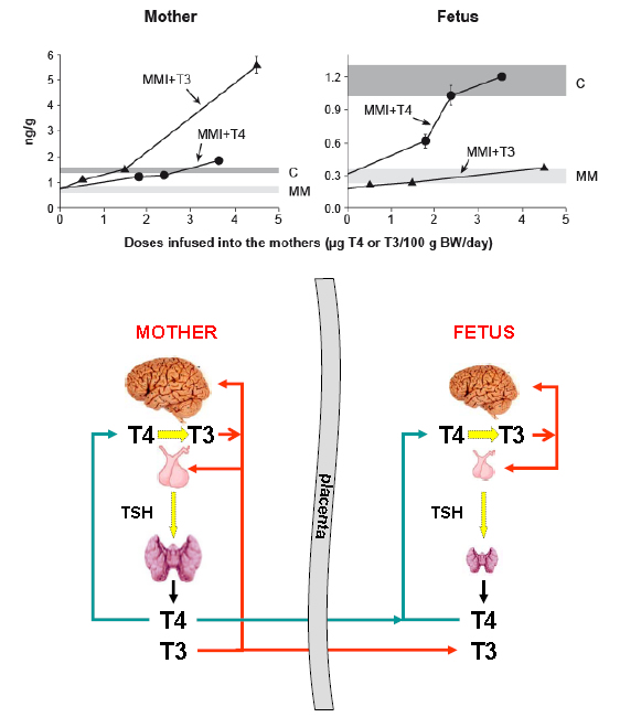 Fig 4.- The upper panel shows the T3 concentration in brain after administration of either T4 or T3 to the mother. Pregnant rats treated with MMI in order to block the maternal and fetal thyroids, were given either T4 or T3 as continuous infusion. T3 concentrations were measured in the brains of the mothers and the fetuses at term. In the mother, increasing doses of T3 led to a proportional accumulation of T3 in the brain. The normal T3 concentration was reached only by a narrow range of T3 doses. Administration of T4 led to a more flat accumulation of T3, and the normal T3 concentration was achieved through a wide range of T4 doses. On the other hand, ddministration of T3 failed to increase T3 concentration in the fetal brain, whereas administration of T4 efficiently normalized fetal brain T3 concentrations (From Calvo R et al, J Clin Invest. 86:889-99, 1990. The cartoon in the lower panel offers an explanation for these results. In the mother, brain T3 derives partially from circulating T3 and from T4 deiodination. Circulating T4 and T3 in the fetus derive from the fetal thyroid gland and from the mother. However, brain T3 is exclusively a product of T4 deiodination.