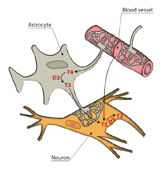 Fig 6.- Entry of thyroid hormone to the brain through the blood-brain barrier (BBB). T3 can reach the target neurons via two ways. One is from the astrocyte, after 5'deiodination of the T4 taken up from the blood through the astrocyte end-feet. T3 can also reach the neurons directly from the extracellular matrix after crossing the BBB. In the neurons, T3 is degraded to T2 by D3. The end-feet of the astrocytes are fenestrated, leaving part of the external capillary surface, and neuronal membrane in direct contact with the extracellular matrix.
