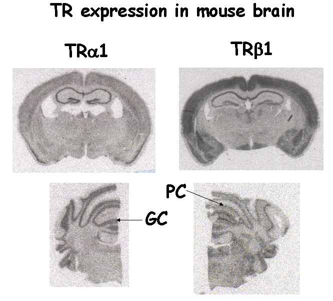 Fig 8.- T3 receptor mRNA expression in the mouse brain, by in situ hybridization with TRalpha1 and TRbeta1-specific probes. In the cerebrum (upper panels) there is an overlapping distribution of both receptor subtypes, with some differences in the hippocampus, amygdala ans hypothalamus. In the cerebellum (lower panel) TR1 is expressed in the granular layer (GC), whereas TR1 is expressed in the Purkinje cell layer (PC).