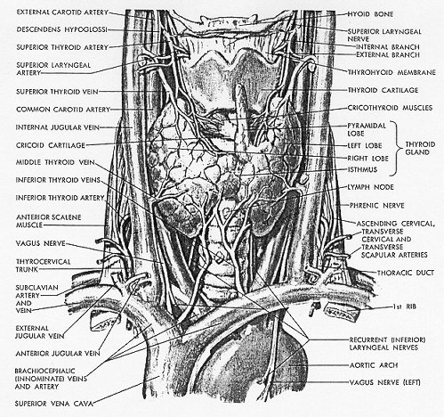 endocrine system of the rat The heart as an endocrine gland it is more  into the vascular system to supply  oxy  the human and the rat except at position 110, where the human anf has.