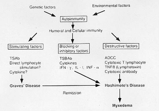 Figure 7-16Balance of Immune Reactions Favoring Graves' or Hashimoto's Disease.