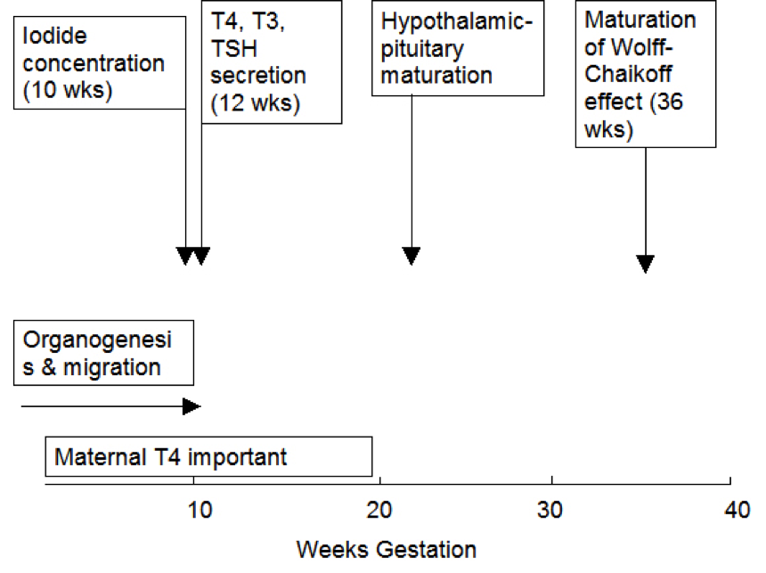 341bee8eabe Figure 15- 1. Approximate timing of thyroid gland maturation in the human  fetus.