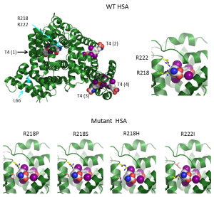 Figure 5. The structures of HSA in the presence of T4 as modeled on the structures 1BM0, 1HK1, 1HK3 in the Protein Data Bank (http://www.rcsb.org/pdb/home/home.do). Top panel shows on the left the entire WT HSA molecule (in green) with its four T4 binding sites [T4 (1) to T4(4)] according to Petitpas et al (116) and to the right a close up of the binding pocket, T4 (1) containing arginines 218 and 222 along with the T4 molecule (carbons are in white, nitrogens in blue, oxygens in red and iodine in magenta). In the bottom panel are represented the structures of the T4 (1) binding pockets of the four mutant HSA showing, a better accommodation of T4 than in the WT HSA and thus, resulting in enhanced binding (From Erik Schoenmakers, University of Cambridge,UK).