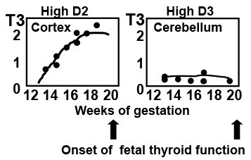 Fig 11.-. Concentrations of T3 in the fetal cerebral cortex and in the cerebellum. The cortex has high Dio2 activity, whereas the cerebellum has low Dio2 and high Dio3 activity. Accordingly, the coencentrations of T3 rise in the cerebral cortex and rfemain low in the cerebellum, reflecting different timing of T3 action. From (191).