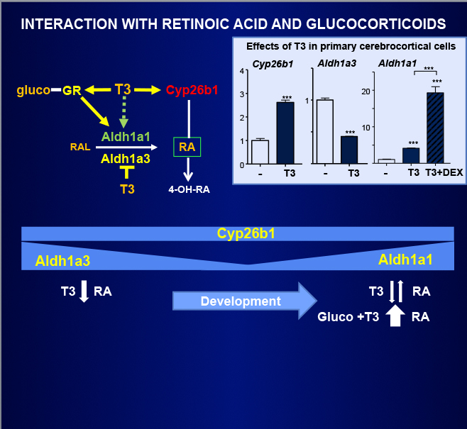 Fig 15.- Interactions between T3 and glucocorticoids in the regulation of retinoic acid (RA) concentrations. T3 controls the expression of two enzymes involved in RA syntesis from retinaldehyde (RAL), Aldh1a3, downregulated by T3, and Aldh1a1, upregulated by T3. Aldh1a1 is also regulated by glucocorticoids, and T3 and glucocorticoids have a synergistic action. Additionally the glucocoticoid receptor gene, Nr3c1 is upregulated by T3. T3 also upregulates the expression of Cyp26b1, which degrades RA to 4-OH-RA. The effects of T3 on Cyb26b1 and Aldh1a3 are at the transcriptional level. The net effect of T3 on RA depends on the specific region of the brain expressing Aldh1a1 or Aldh1a3, in relation to the expression of Cyp26b1 and the concentrations of glucocorticoids. Durng development Cyp26b1 remains relatively constant, whereas Aldh1a3 is highly expressed earlier in development and then decreases. Aldh1a1 follows the reverse pattern. Therefore, the next effect of T3 in early development will be to decrease RA concentrations, whereas in late development will either decrease or increase depending upon glucocorticoid signaling. From (42).