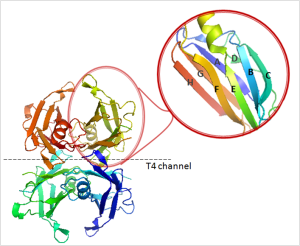 Figure 3. X-ray structure of TTR. The moleculle is a homotetrameric protein composed of four monomers of 127 amino acids. Structurally, in its native state, TTR contains eight stands (A-H) and a small α-helix. The contacts between the dimers form two hydrophobic pockets where T4 binds (T4 channel). As shown in the magnified insert, each monomer contains one small α-helix and eight β-strands (CBEF and DAGH). Adapted from a model; PDB code 1DVQ (101).