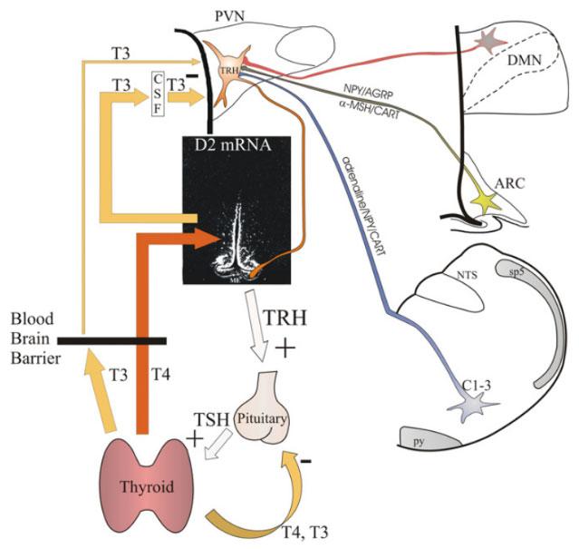 TDM-hypoPit-ch4-fig4-11